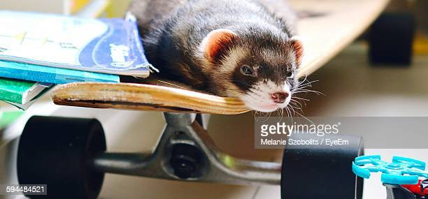 Ferret Relaxing On Skateboard At Home