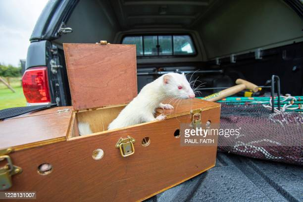 A ferret used to chase and trap rabbits by professional rabbit catcher Steven McGonigal are pictured as he prepares to hunt for rabbits in County...