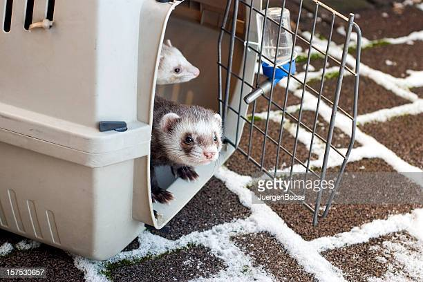 Ferrets looking for snow