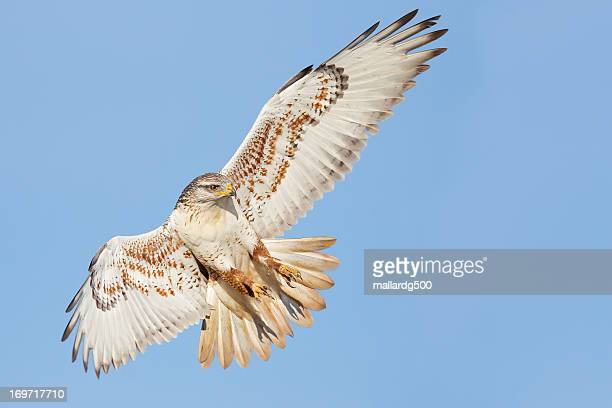 ferruginous hawk - hawk stock photos and pictures