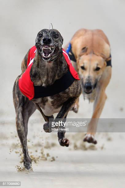 Ferryforth Dora wins race 5 at Brighton and Hove Stadium on March 23 2016 in Brighton England