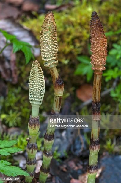 Fertil sterm of field horsetail (Equisetum arvense), Upper Bavaria, Germany