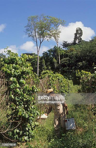 Fertilizing Pepper Vines Brazil Amazon TomeAcu Vicinity Paragominas A Japanese agroforestry farm carved out of the forest 40 years ago A very...