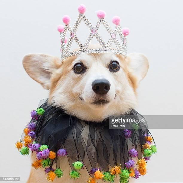 Festive corgi dog wearing a tiara