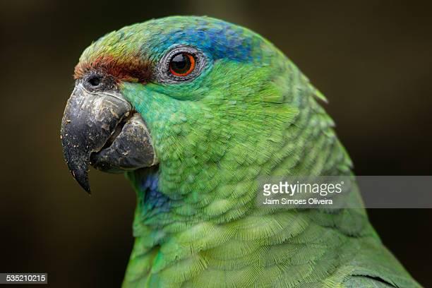 Festive Parrot Close up