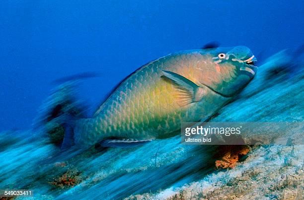 Festive parrotfish Scarus festivus Maldives Island Indian Ocean Ari Atol