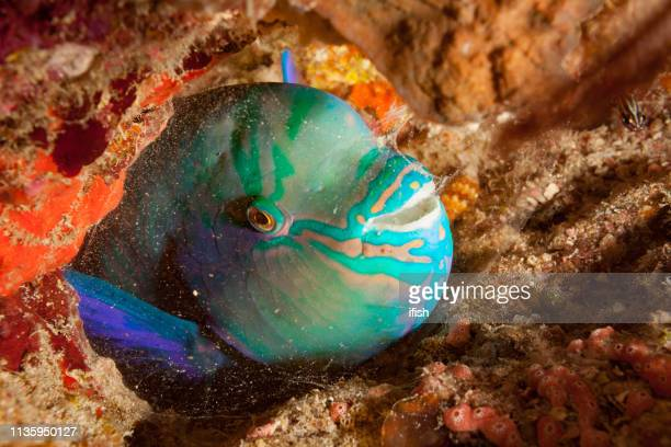 festive parrotfish scarus festivus sleeping in cocoon, pantar strait, indonesia - festivus stock photos and pictures