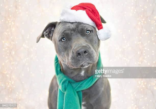 festive pit bull - santa hat stock photos and pictures