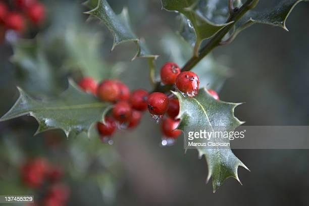 Festività natalizie Holly Bush
