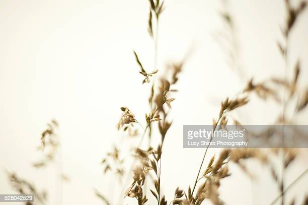 festuca rubra, red fescue grass - lucy shires stock pictures, royalty-free photos & images