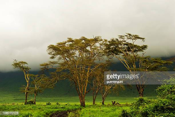 Fever Trees under a mystic African Sky in Ngorongoro Crater
