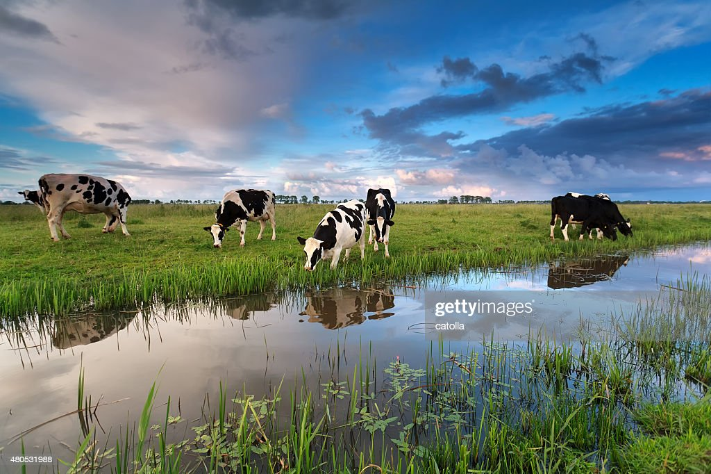 few cows grazing on pasture by river : Stock Photo