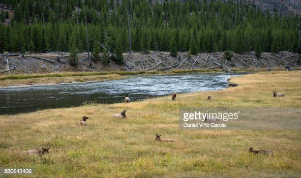 a few elk in a field, yellowstone national park, wyoming, usa - yellowstone river stock photos and pictures