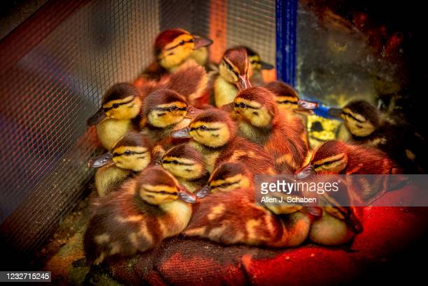 May 04: A few of the nearly 900 baby mallard ducklings huddle together under a heat lamp after a tsunami of orphans came in, according to Debbie...