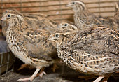 http://www.istockphoto.com/photo/a-few-quails-in-a-cage-on-a-chicken-farm-gm876424150-244616535