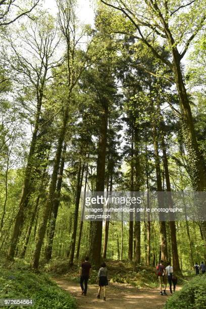 A few sequoia trees in middle beech forest