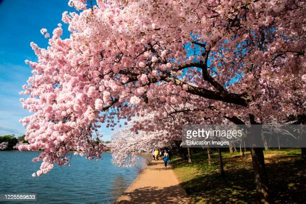 Few visitors to see cherry trees in bloom on the National Mall, Washington, D.C.