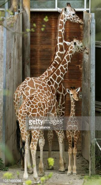 Few weeks old reticiulated baby giraffe explores its enclosure for the first time in the Duisburg zoo in Duisburg Germany 17 April 2015 Mother...