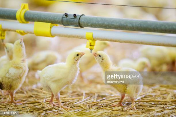 Few yellow chickens drinking water