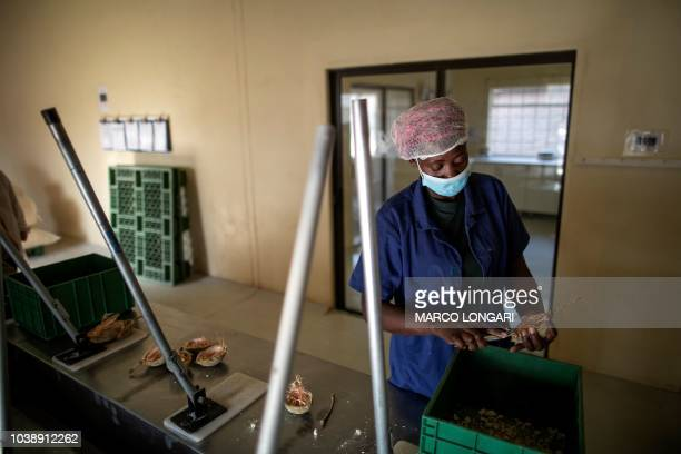 Fhatuwani Maguvha removes seeds from a baobab fruit at the Eco Products lab headquarters in Louis Trichardt in the Limpopo Province on August 27 2018...