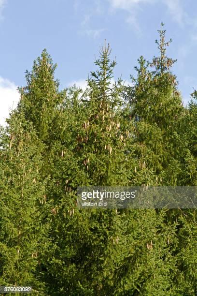 Fichtenbaum mehrere Baeume nebeneinanderstehend mit Fichtenzapfen vor blauem Himmel mit weissen Wolken