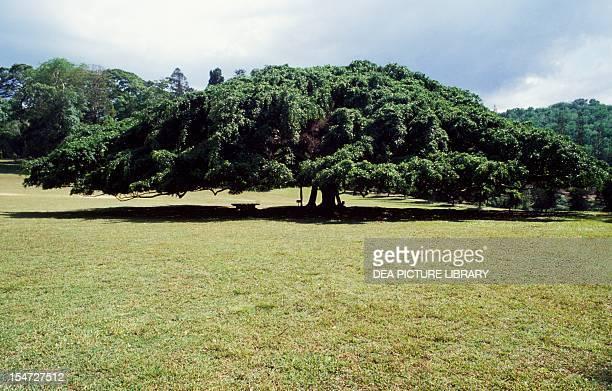 Ficus benjamina Moraceae