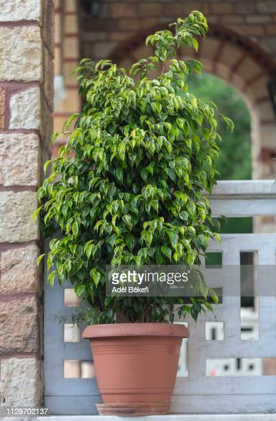 ficus benjamina - fig tree stock pictures, royalty-free photos & images