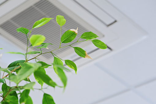 Ficus green leaves on the background ofceiling air conditioner 1141770949