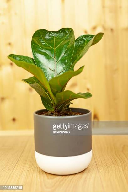 ficus lyrata bambino plant. house plant - fig tree stock pictures, royalty-free photos & images