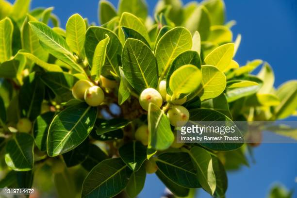 ficus tree and fruit - bromeliaceae stock pictures, royalty-free photos & images