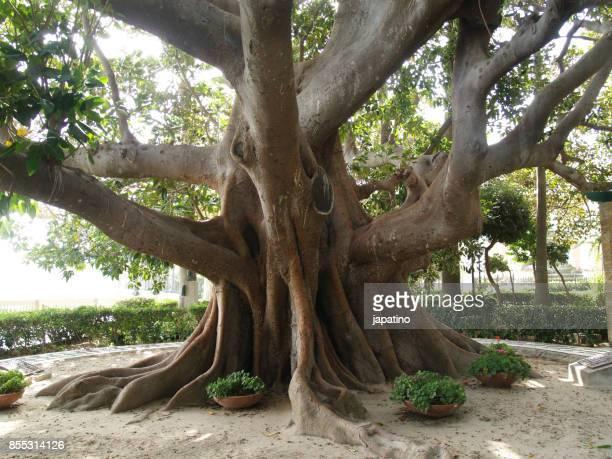 Ficus tree. Ficus Magnonioide.