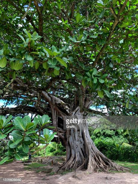 ficus tree - figueira brava - 100th anniversary stock pictures, royalty-free photos & images