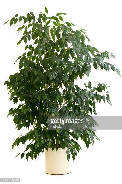 Ficus tree in tan flowerpot on white background