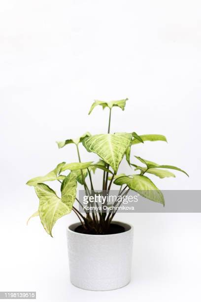 fiddle leaf fig tree on white background. - fig tree stock pictures, royalty-free photos & images