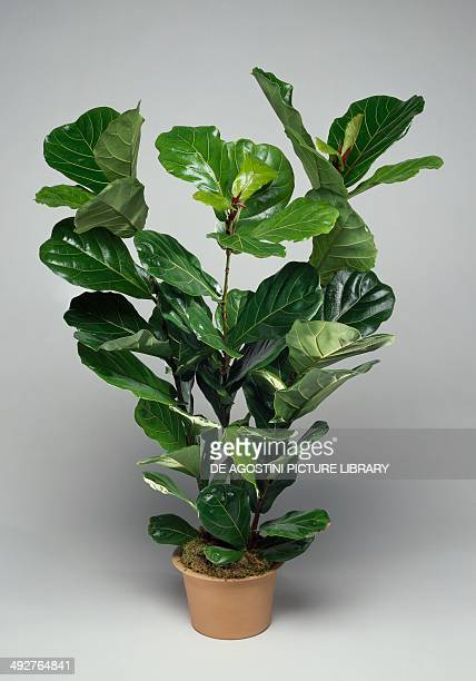 Fiddleleaf fig Moraceae