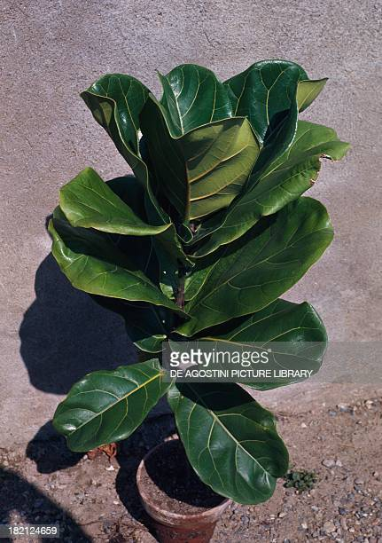 Fiddleleaf Fig or Banjo Fig Moraceae