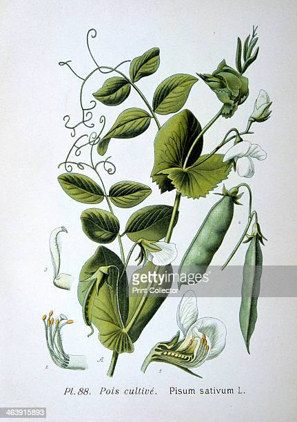 Field and garden pea 1893 Botanical illustration of Pisum sativum the pea plant from an atlas of the plants of France