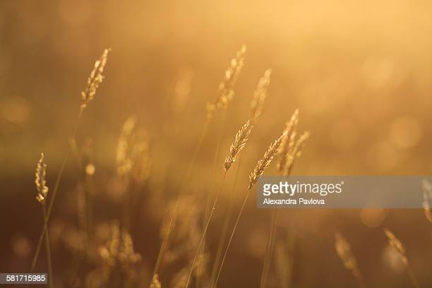 Field back lit by golden sunset light