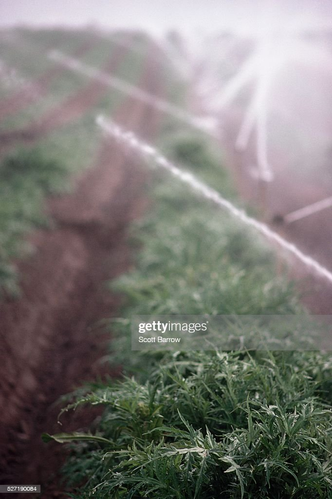 Field being irrigated : Stock Photo