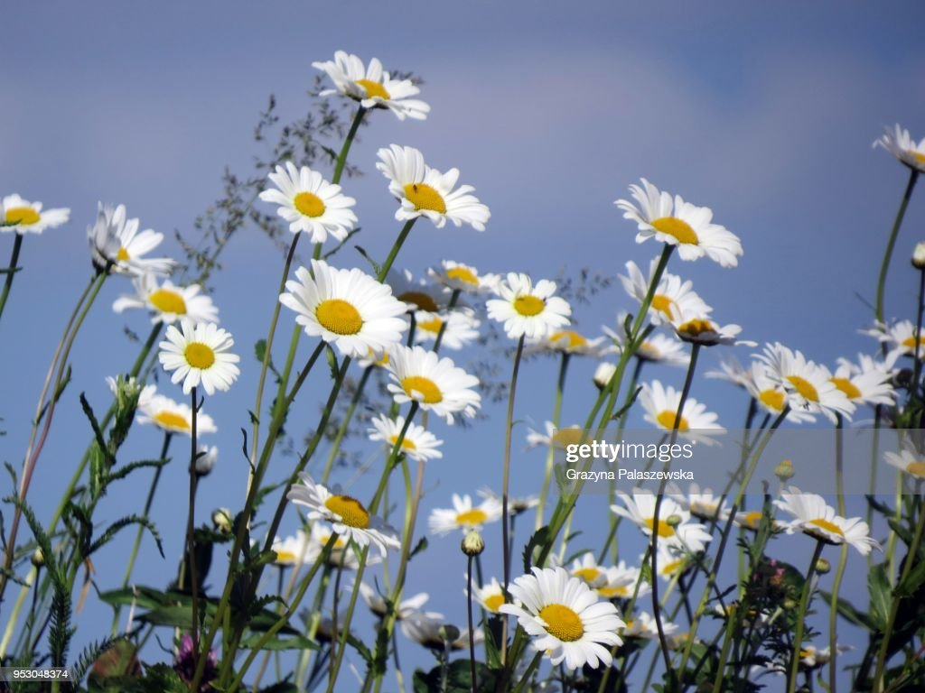 Field camomiles against a blue sky : Stock Photo