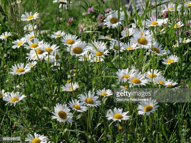 field camomiles on a green background - uncultivated stock pictures, royalty-free photos & images