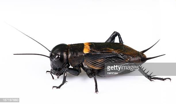 field cricket - cricket insect stock pictures, royalty-free photos & images