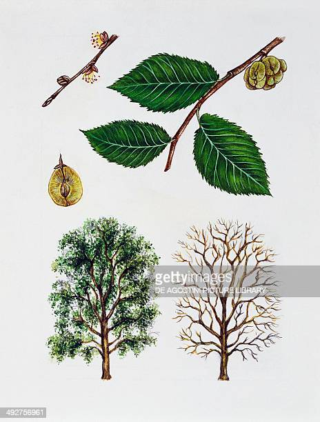Field elm Ulmaceae tree with and without foliage leaves flowers and fruits illustration