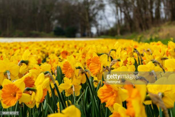 field filled with daffodils - daffodils stock photos and pictures