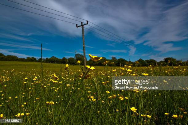 field full of buttercups - cardiff stock pictures, royalty-free photos & images