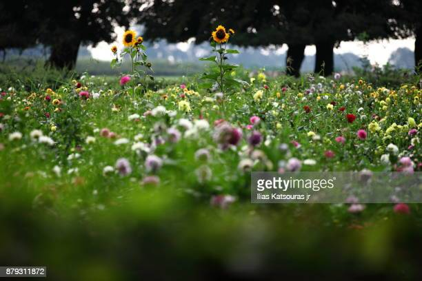 Field full of flowers with tall sunflowers standing out