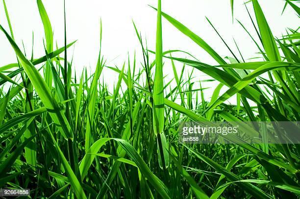 フィールドした緑の芝生 - 自生 ストックフォトと画像