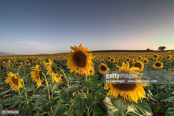 field full of sunflowers at sunset
