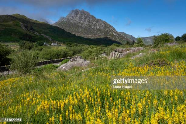 Field full of wildf lowers and the mountain of Tryfan in the Ogwen Valley in Snowdonia.
