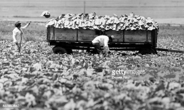 Field hands harvest cabbage on a truck vegetable farm in Boulder County north of Lafayette Tuesday am They cut the heads with large knives and toss...
